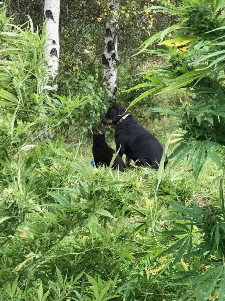 Cat and dog are friends in a hemp field
