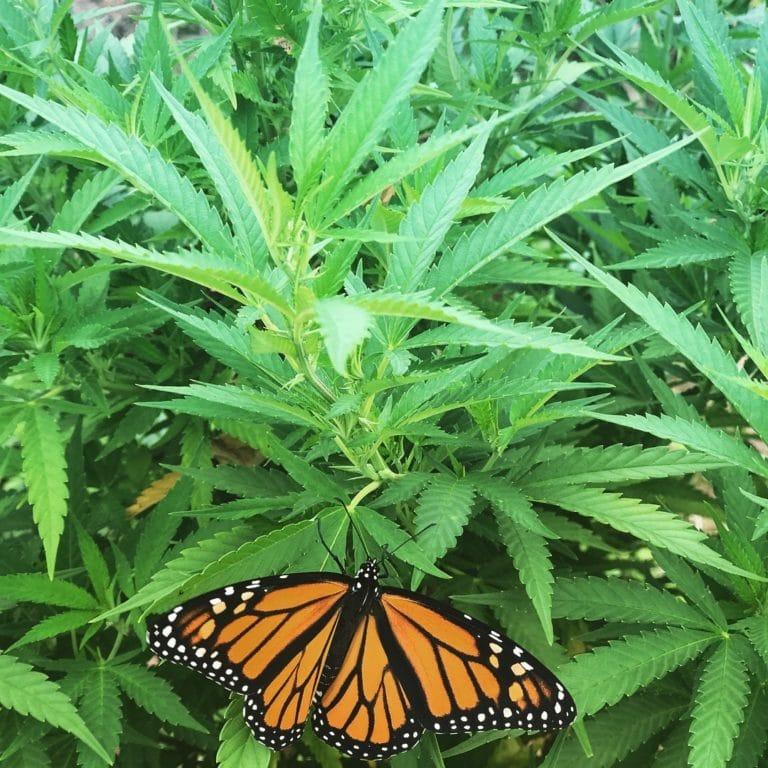 Monarch butterfly on a hemp plant