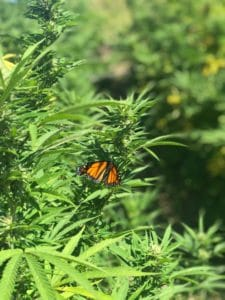 Monarch butterfly on a mature hemp flower