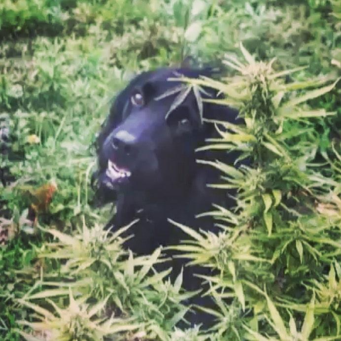 Cute dog in a hemp field