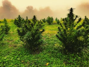 Mature hemp plants in a field with fog and mist